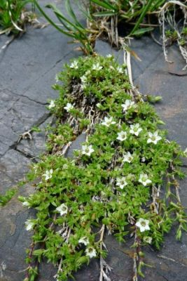 Minuartia rupestris -