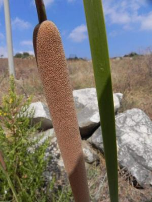 Typha latifolia -