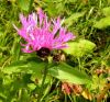 Centaurea nigrescens - Credit: Photo by Pino Perino - Villorba (TV)