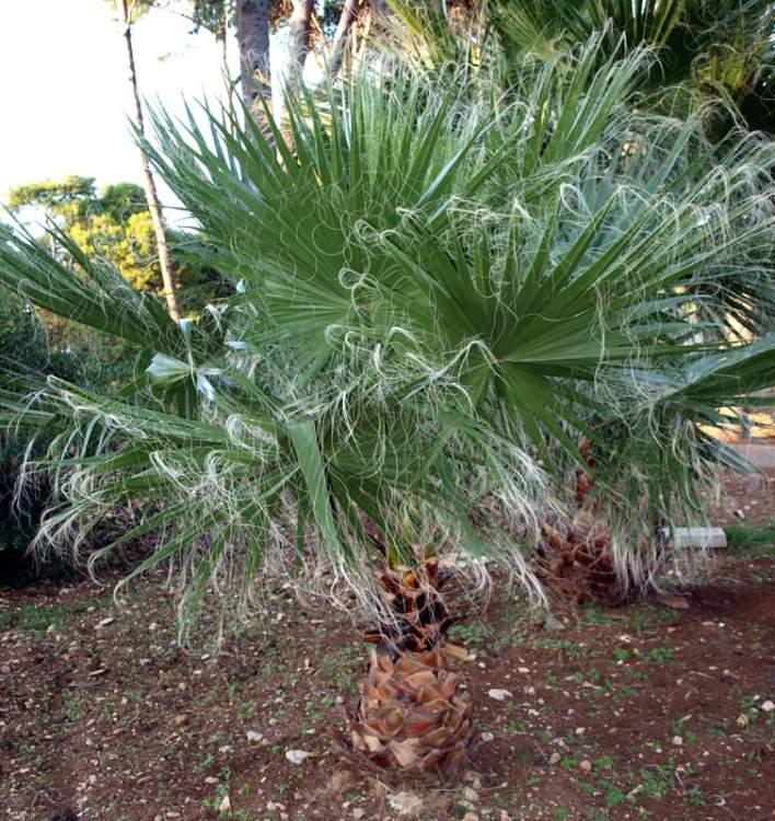 washingtonia palme washingtonia robusta from palm centre. Black Bedroom Furniture Sets. Home Design Ideas
