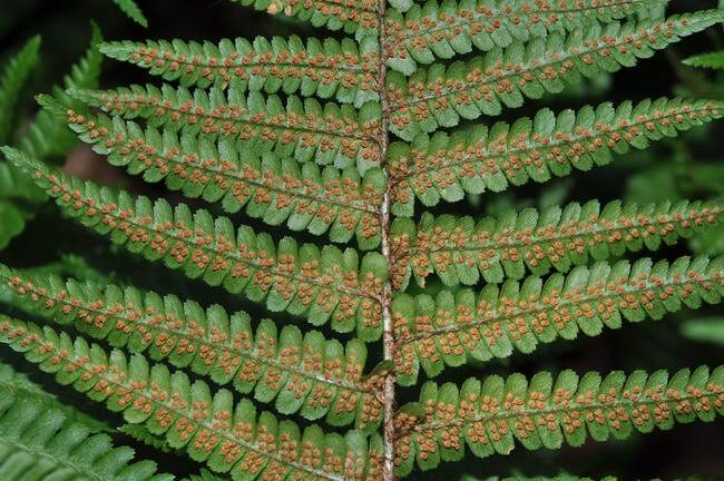 Dryopteris affinis subsp. cambrensis Fraser-Jenk.
