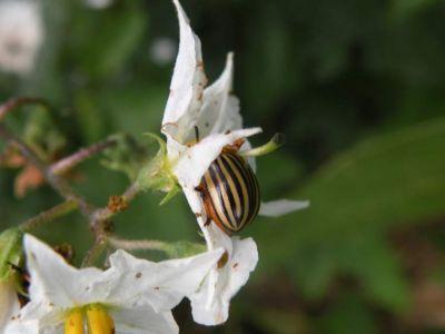 Solanum carolinense