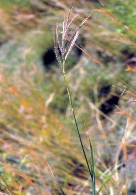 Dichanthium annulatum