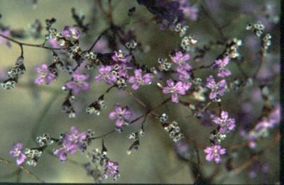 Limonium optimae Raimondo