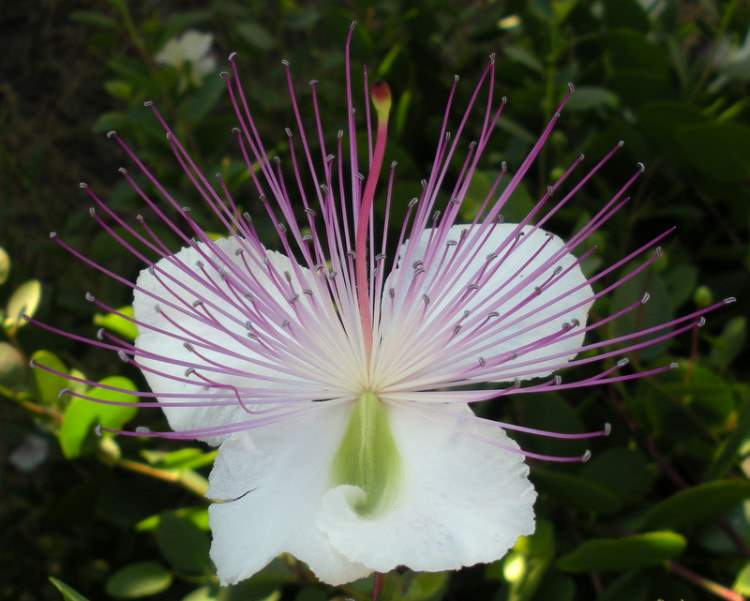 Capparis spinosa L.