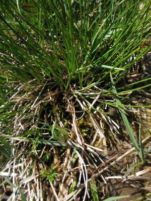 Carex davalliana -