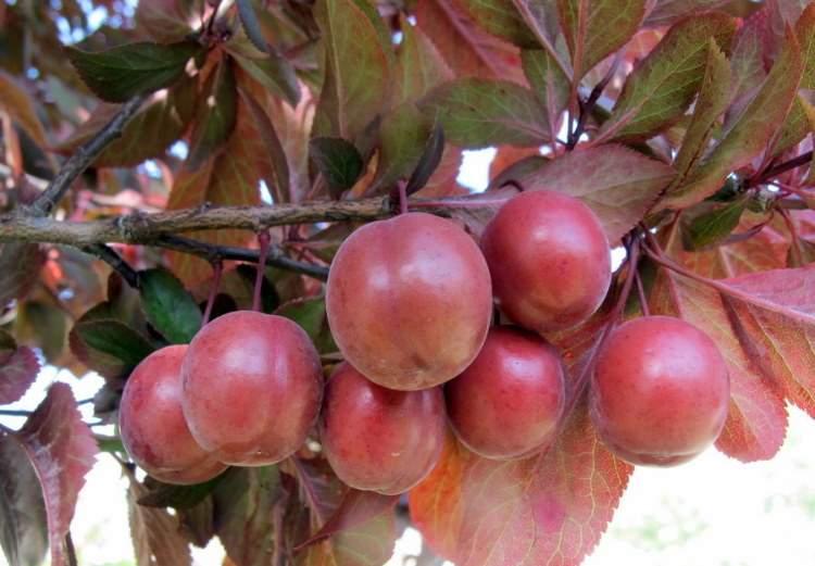 Piante Di Prugne : Prunus cerasifera pissardi