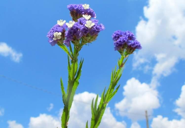 Limonium sinuatum (L.) Mill. - wavyleaf sea lavender