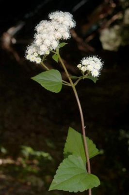 Ageratina adenophora
