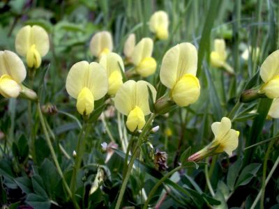 Lotus maritimus