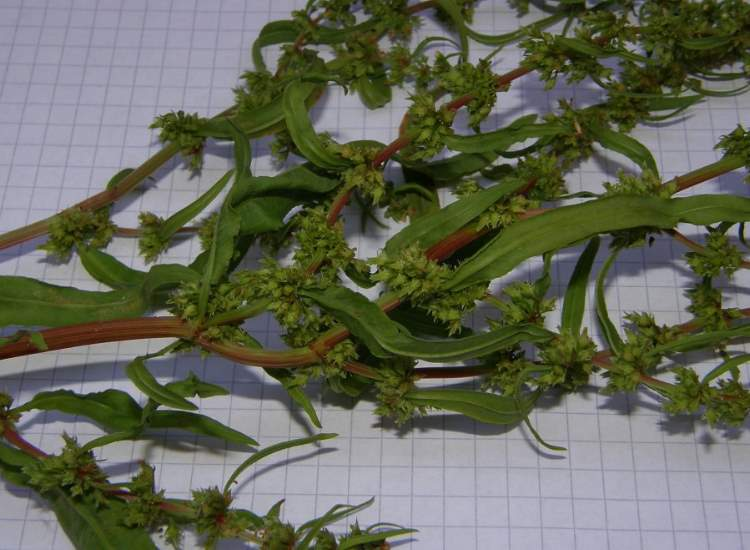 Rumex palustris Sm.