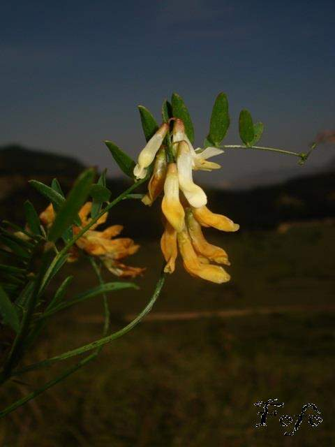 Vicia ochroleuca Ten.