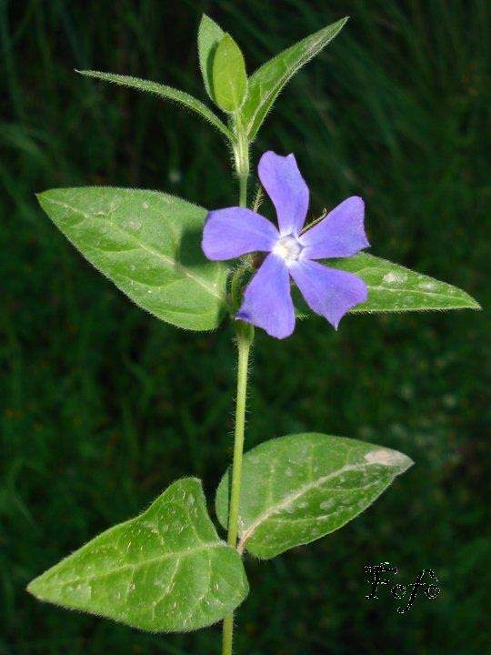 Vinca major l bigleaf periwinkle for Vinca major