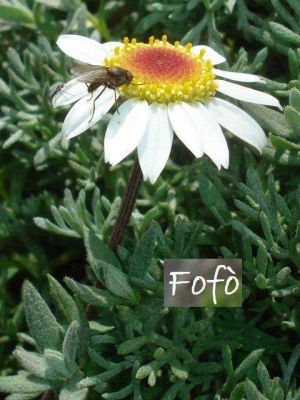 Anthemis aetnensis -