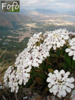 Iberis semperflorens -