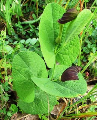 Aristolochia rotunda -