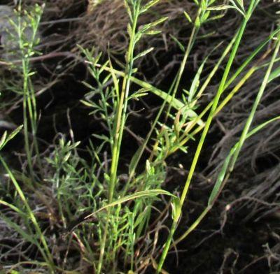 Catapodium rigidum