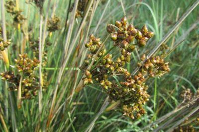 Juncus acutus