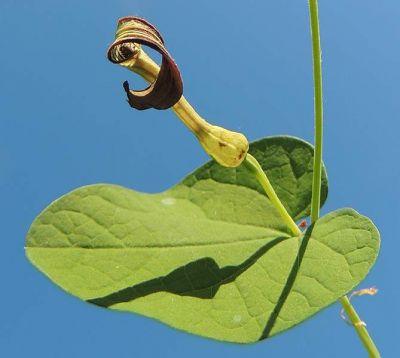 Aristolochia rotunda - a