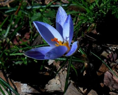 Crocus biflorus Mill.