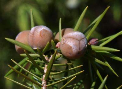 Juniperus oxycedrus