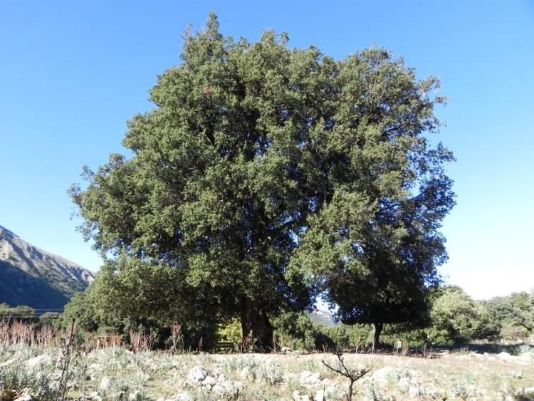 Quercus Congesta Quercus ilex L....