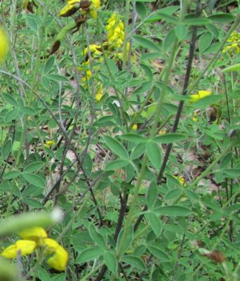 Cytisus nigricans -
