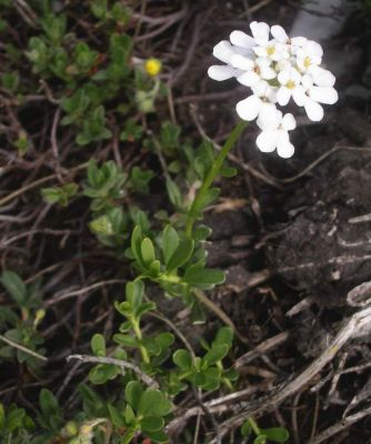 Iberis sempervirens -
