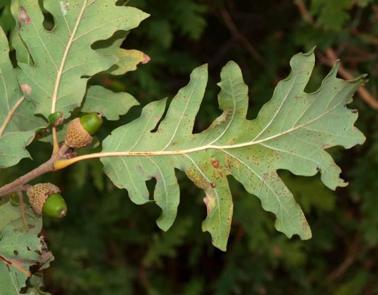 Quercus Congesta Quercus dalecha...