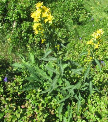Solidago virgaurea -