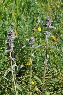 Stachys thirkei -