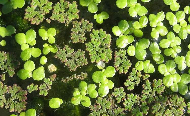 Lemna gibba specie della flora italiana for Lenticchia d acqua