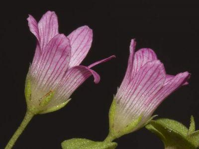 Lysimachia tenella