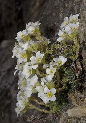 Saxifraga diapensioides -