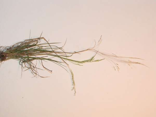 Agrostis avenacea,