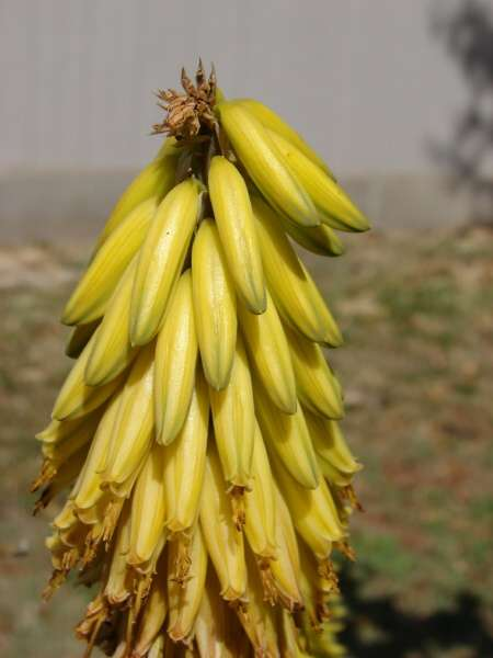 Aloe vera (L.) Burm. f. - Barbados aloe