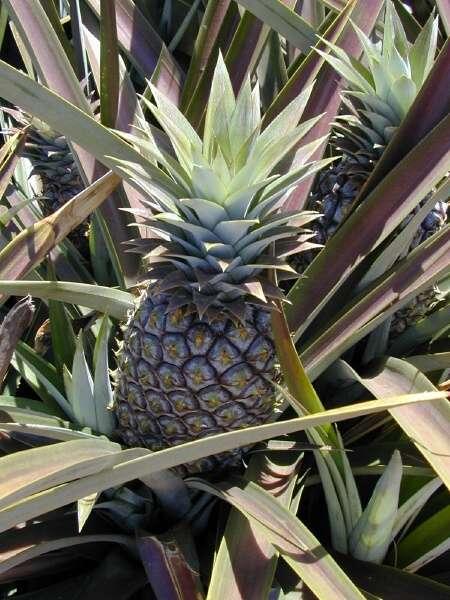Ananas Credit flora of north america - genus: ananas