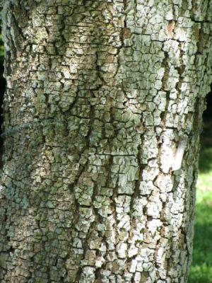 Albizia zygia