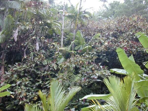 forest invaded by Miconia calvescens