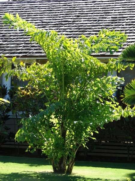 fishtail palm hedge - photo #2