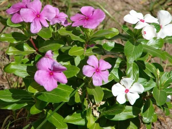 Catharanthus roseus (L.) G. Don