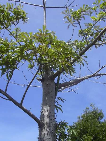 silk cotton tree - 99074 - common name - Ceiba pentandra