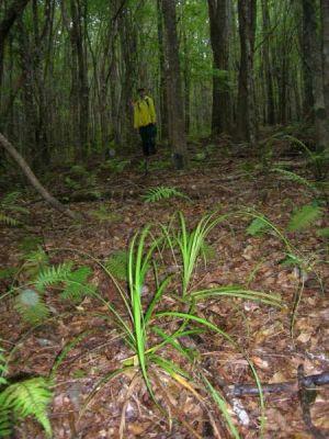 Carex alligata