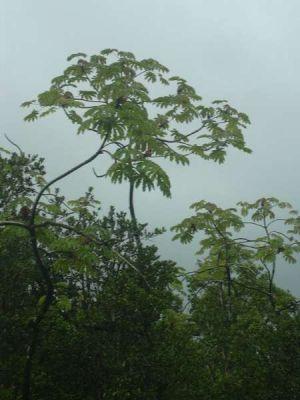 Cecropia obtusifolia