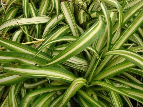 Chlorophytum comosum thunb jacq spider plant - Plantas de jardin exterior ...