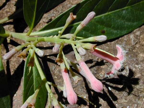 Cinchona calisaya - Flowers at Makawao Forest Reserve, Maui - Credit ...