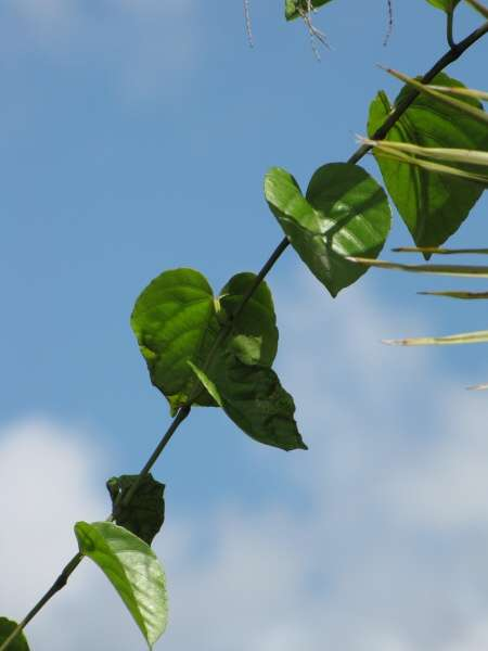 Veldt Grape Cissus Quadrangularis: Flora Of North America