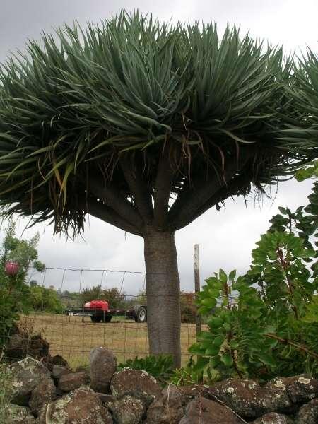 dracaena draco l l dragontree. Black Bedroom Furniture Sets. Home Design Ideas