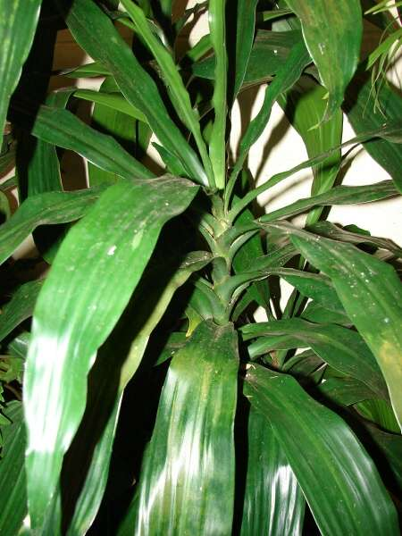 dracaena fragrans l ker gawl fragrant dracaena. Black Bedroom Furniture Sets. Home Design Ideas