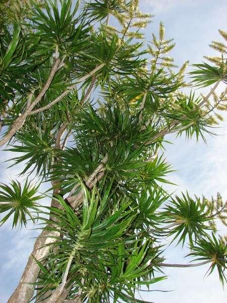 dracaena marginata lam dragontree. Black Bedroom Furniture Sets. Home Design Ideas